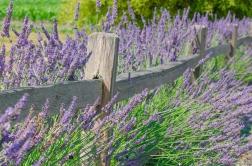 lavender_fence