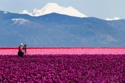 Mount Baker_Tulips