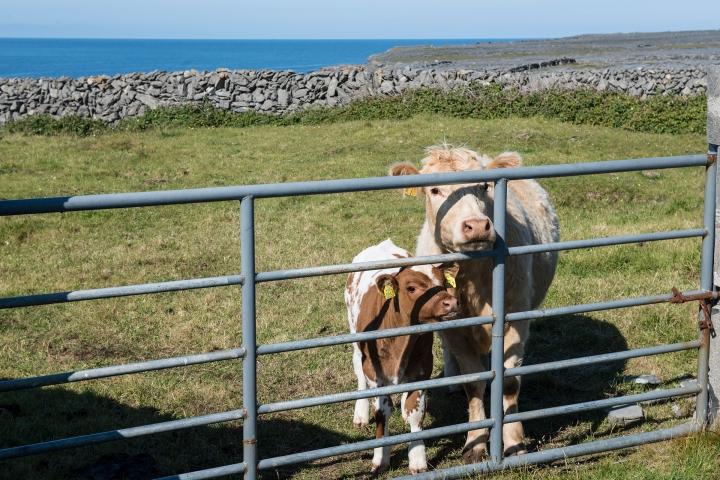 Curious Livestock