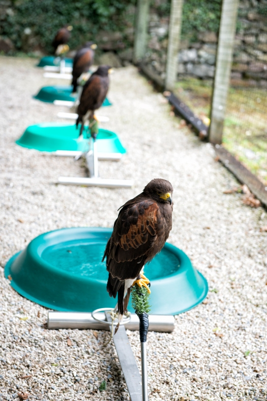 Harris Hawk in Cage