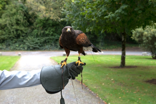 Harris Hawk taking off