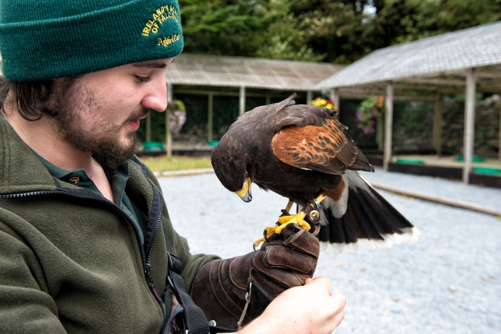 Instructor with Harris Hawk