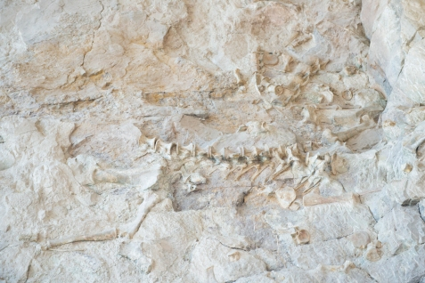 Dinosaur fossil at Dinosaur National Monument, Utah