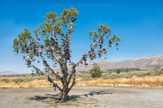 Shoe Tree in California